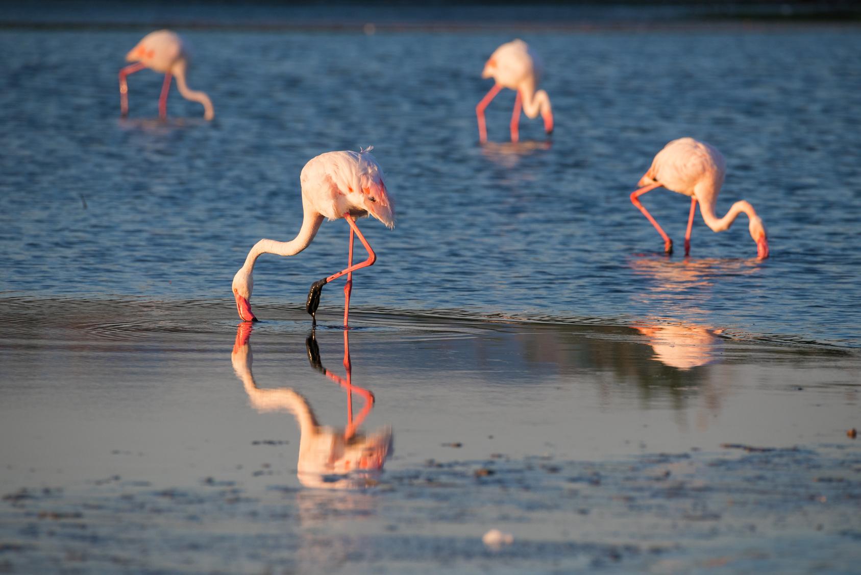 Monserrato sardegna il fenicottero rosa dello stagno di for Gli animali dello stagno